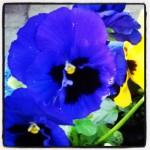 Stiefmütterchen in dunkelblau