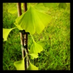 Unser Gingko im Garten