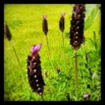 Die Lavendel blühen im Garten